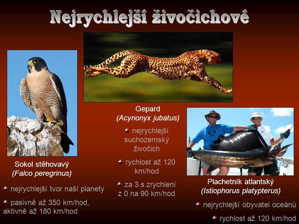 nejrychlejší tvor naší planety pasivně až 350 km/hod, aktivně až 180 km/hod Sokol stěhovavý (Falco peregrinus) Plachetník atlantský (Istiophorus platy