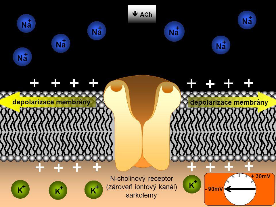  ACh depolarizace membrány - 90mV + 30mV ACh N-cholinový receptor (zároveň iontový kanál) sarkolemy K + K + K + K + Na + + + + + + +