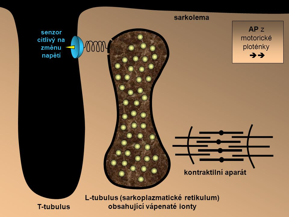 L-tubulus (sarkoplazmatické retikulum) obsahující vápenaté ionty T-tubulus sarkolema AP z motorické ploténky  senzor citlivý na změnu napětí kontrak
