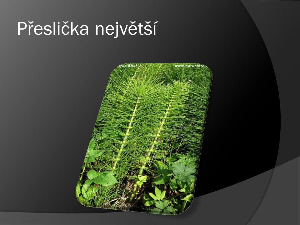Equisetum tentaculatum