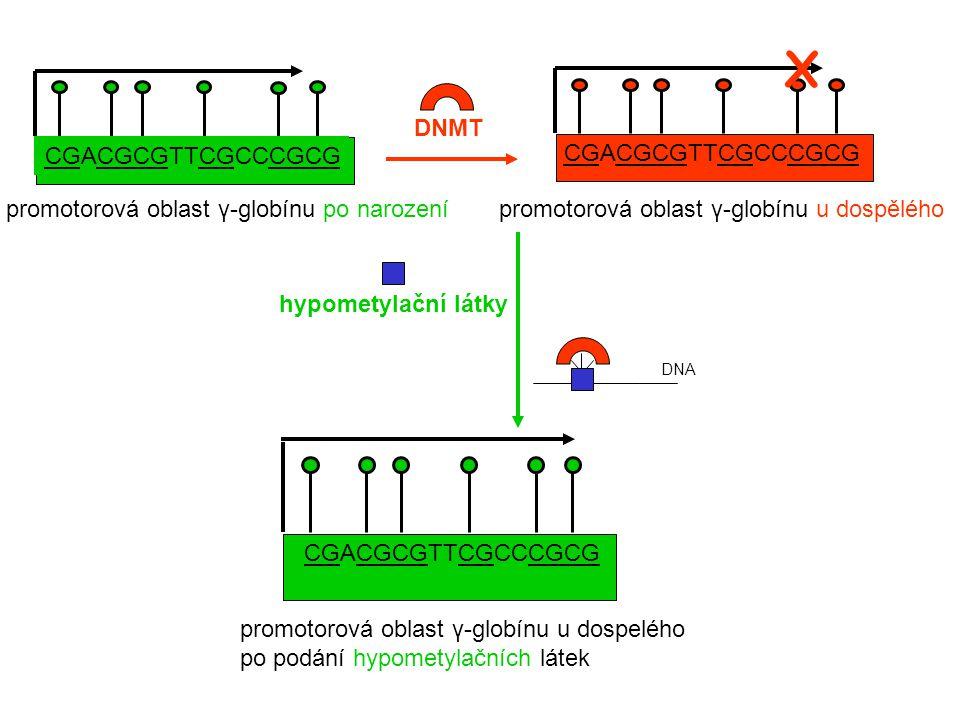 promotorová oblast γ-globínu u dospelého po podání hypometylačních látek CGACGCGTTCGCCCGCG promotorová oblast γ-globínu u dospělého CGACGCGTTCGCCCGCG