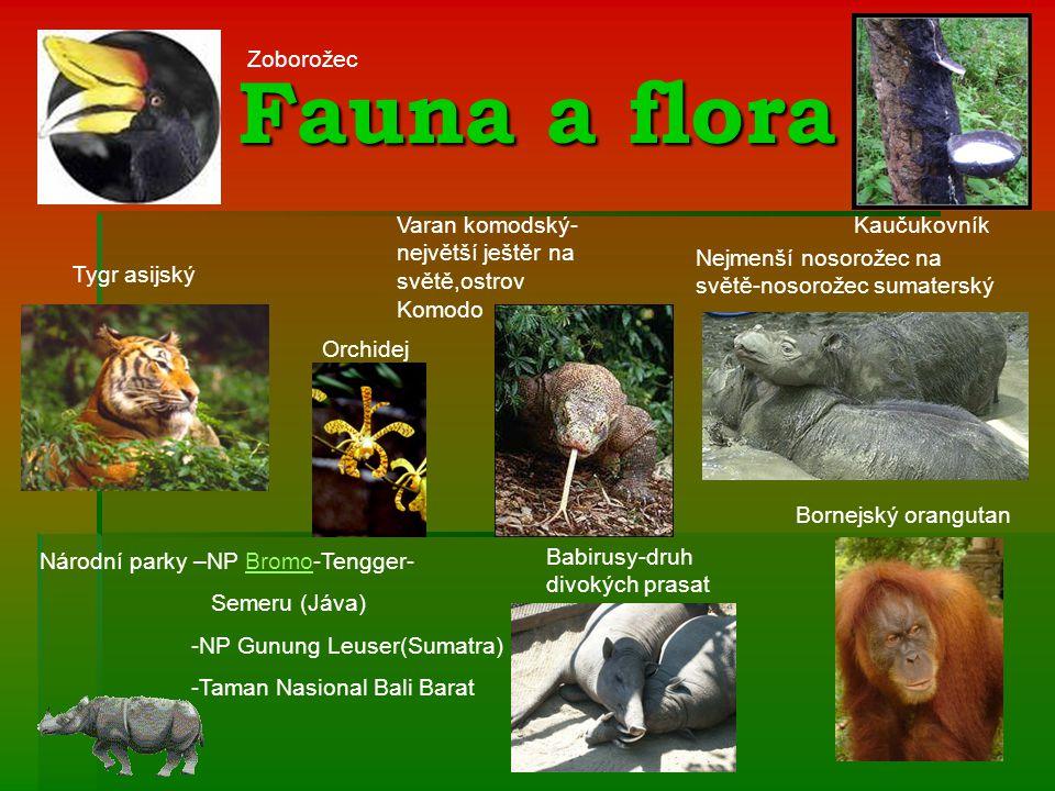 Fauna a flora Nejmenší nosorožec na světě-nosorožec sumaterský Bornejský orangutan Varan komodský- největší ještěr na světě,ostrov Komodo Tygr asijský Zoborožec Kaučukovník Orchidej Babirusy-druh divokých prasat Národní parky –NP Bromo-Tengger-Bromo Semeru (Jáva) -NP Gunung Leuser(Sumatra) -Taman Nasional Bali Barat