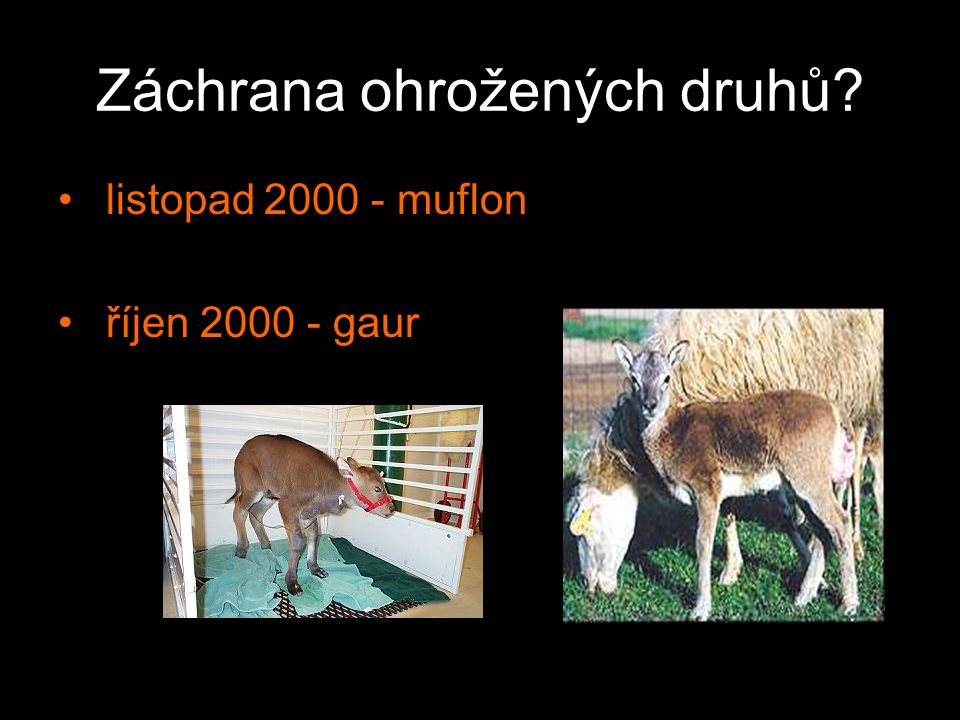 Klonování hospodářských zvířat Září 2000 – býk Starburk 2 Listopad 2000 – klon býka odolného vůči několika chorobám