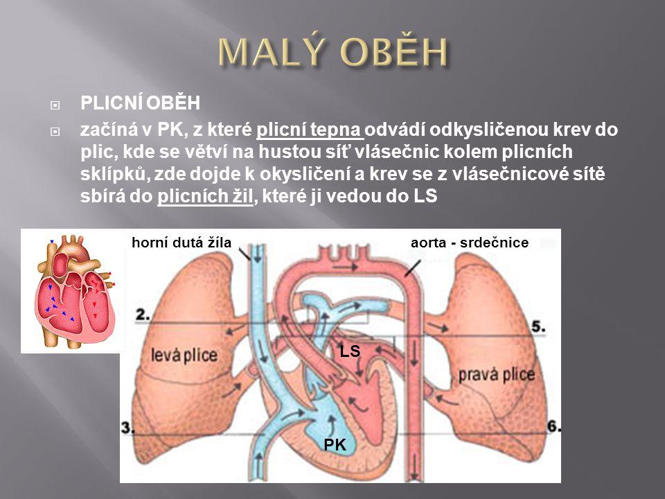  PLICNÍ OBĚH  začíná v PK, z které plicní tepna odvádí odkysličenou krev do plic, kde se větví na hustou síť vlásečnic kolem plicních sklípků, zde d
