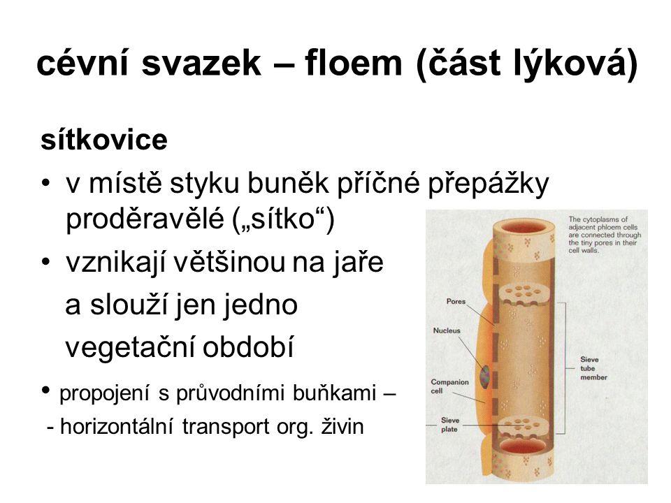 """cévní svazek – floem (část lýková) sítkovice v místě styku buněk příčné přepážky proděravělé (""""sítko"""") vznikají většinou na jaře a slouží jen jedno ve"""