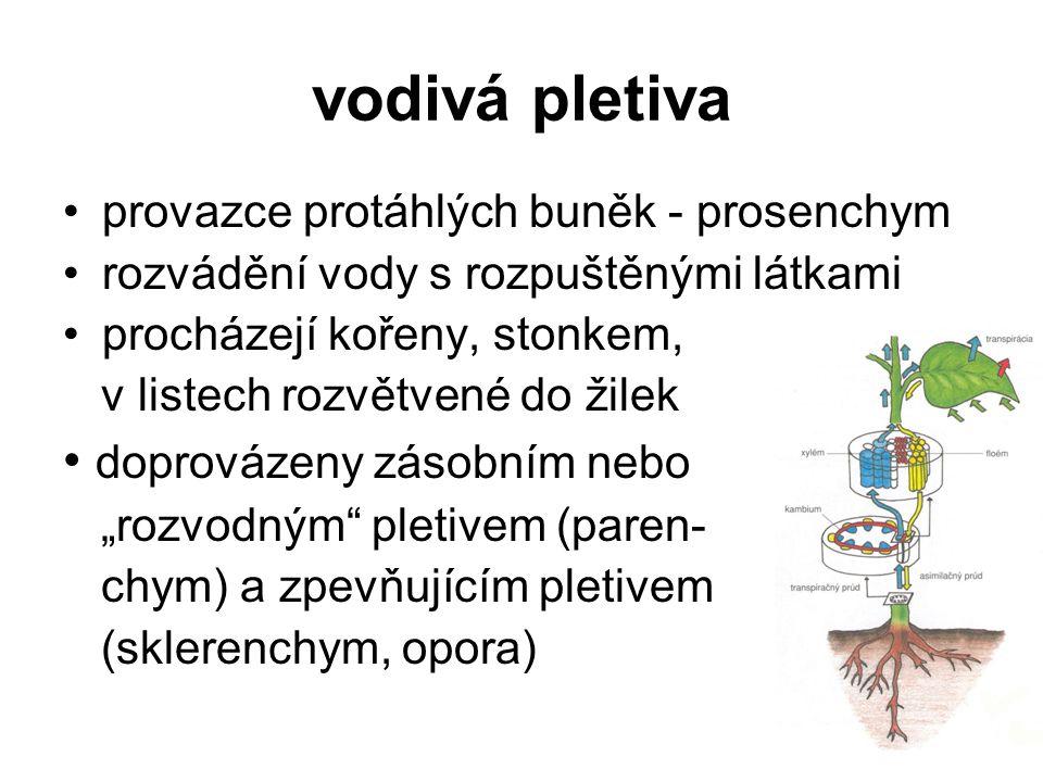vodivá pletiva provazce protáhlých buněk - prosenchym rozvádění vody s rozpuštěnými látkami procházejí kořeny, stonkem, v listech rozvětvené do žilek