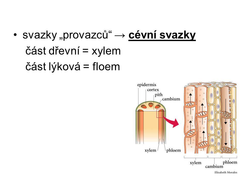 """svazky """"provazců"""" → cévní svazky část dřevní = xylem část lýková = floem"""