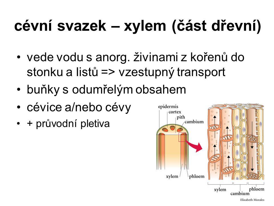 cévní svazek – xylem (část dřevní) vede vodu s anorg. živinami z kořenů do stonku a listů => vzestupný transport buňky s odumřelým obsahem cévice a/ne