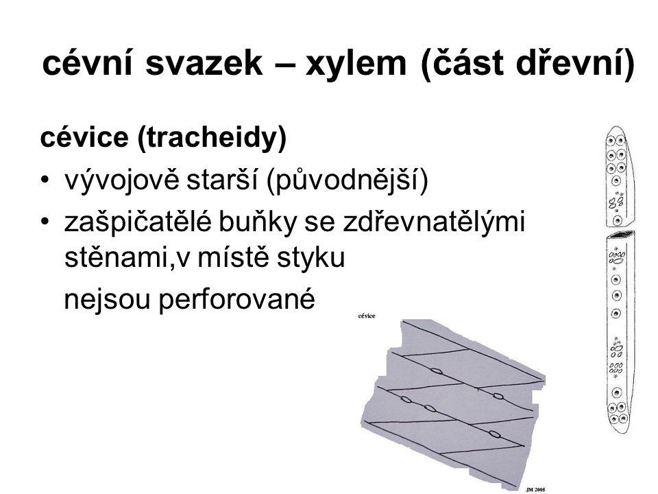 cévní svazek – xylem (část dřevní) cévice (tracheidy) vývojově starší (původnější) zašpičatělé buňky se zdřevnatělými stěnami,v místě styku nejsou per