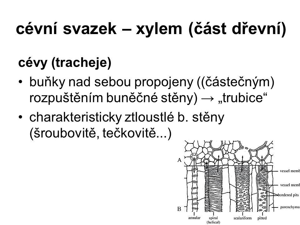 """cévní svazek – xylem (část dřevní) cévy (tracheje) buňky nad sebou propojeny ((částečným) rozpuštěním buněčné stěny) → """"trubice"""" charakteristicky ztlo"""