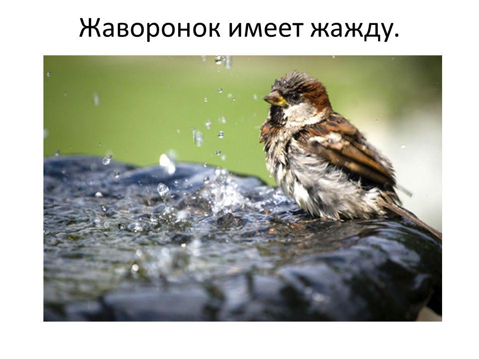 Жаворонок имеет жажду.