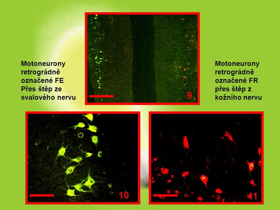 Motoneurony retrográdně označené FE Přes štěp ze svalového nervu Motoneurony retrográdně označené FR přes štěp z kožního nervu 9 10 11