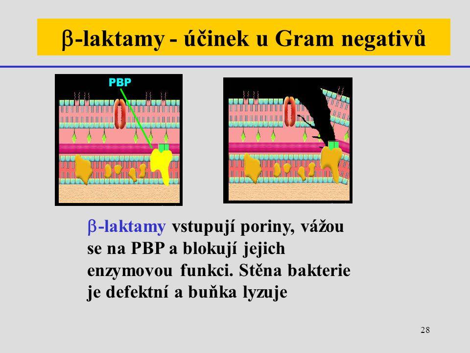28  -laktamy - účinek u Gram negativů  -laktamy vstupují poriny, vážou se na PBP a blokují jejich enzymovou funkci. Stěna bakterie je defektní a buň
