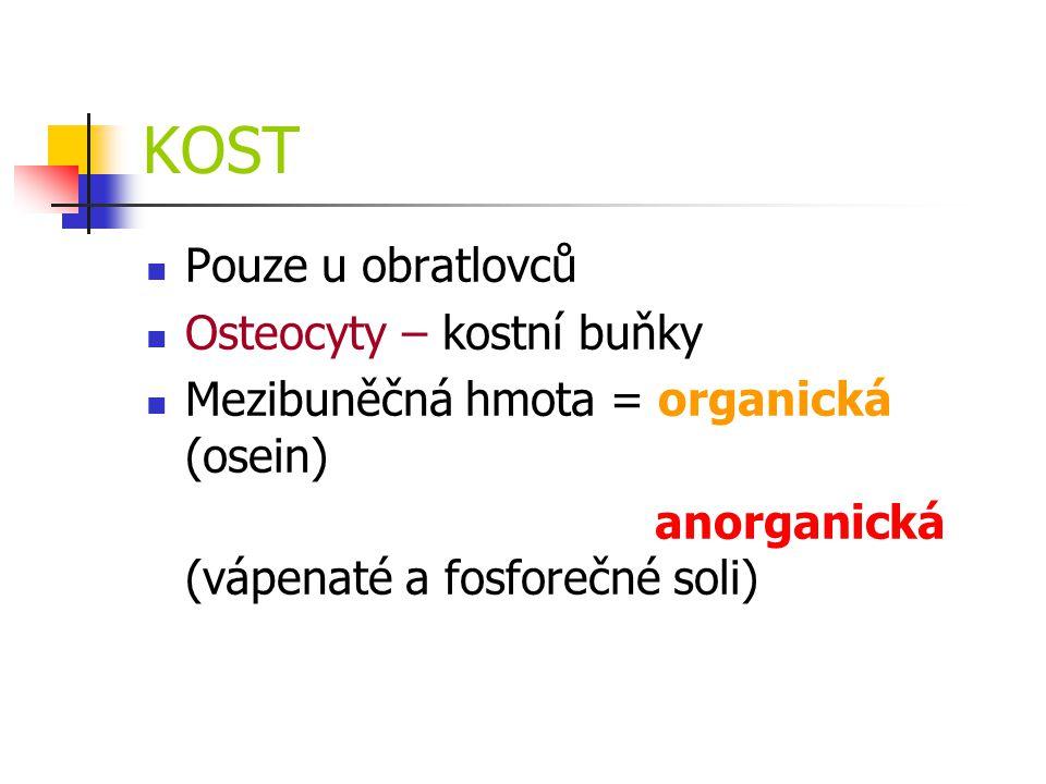 KOST Pouze u obratlovců Osteocyty – kostní buňky Mezibuněčná hmota = organická (osein) anorganická (vápenaté a fosforečné soli)