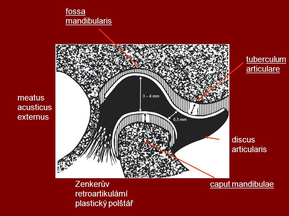 3 – 4 mm 0,5 mm tuberculum articulare discus articularis fossa mandibularis meatus acusticus externus Zenkerův retroartikulární plastický polštář caput mandibulae
