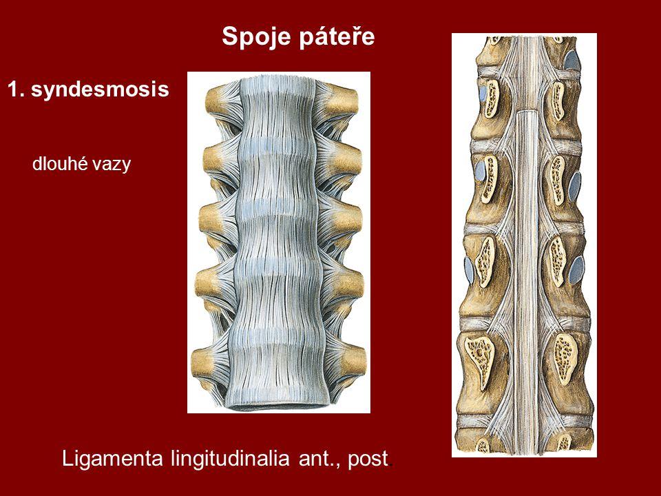 1. syndesmosis dlouhé vazy Spoje páteře Ligamenta lingitudinalia ant., post.