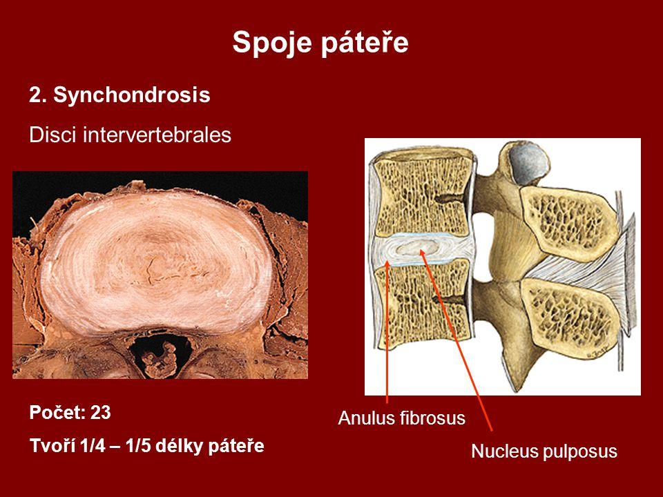 2. Synchondrosis Disci intervertebrales Počet: 23 Tvoří 1/4 – 1/5 délky páteře Anulus fibrosus Nucleus pulposus