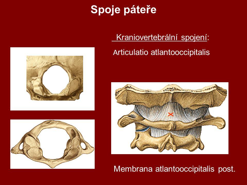 Kraniovertebrální spojení: A rticulatio atlantooccipitalis Membrana atlantooccipitalis post.