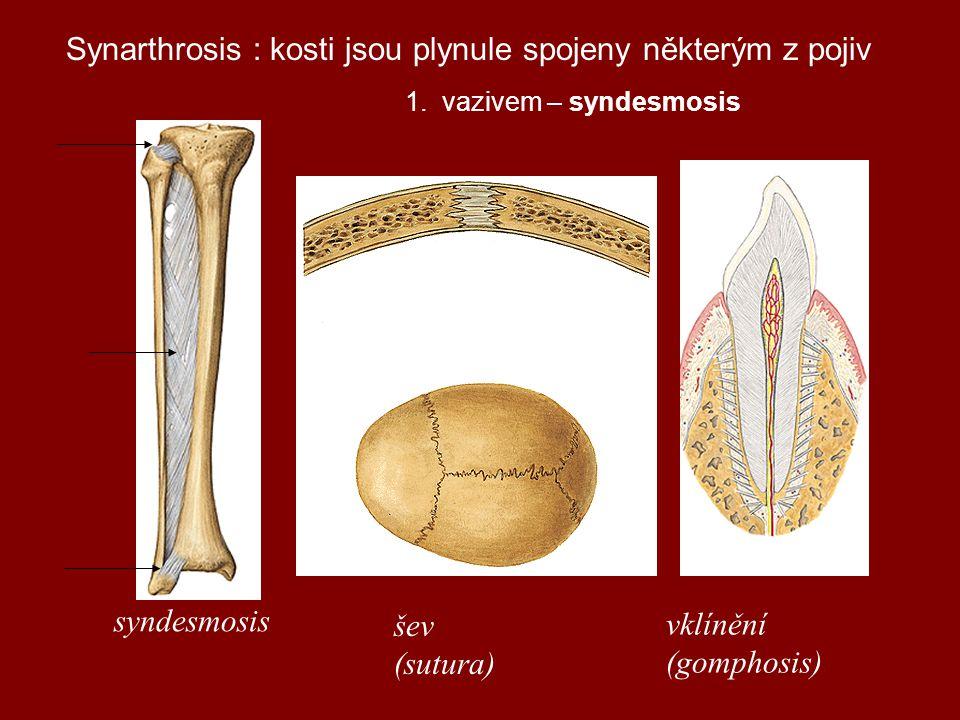 Synarthrosis : kosti jsou plynule spojeny některým z pojiv 1.