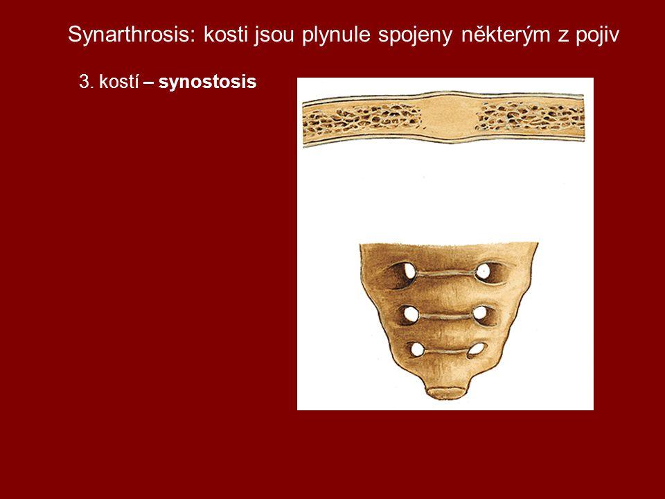 Synarthrosis: kosti jsou plynule spojeny některým z pojiv 3. kostí – synostosis