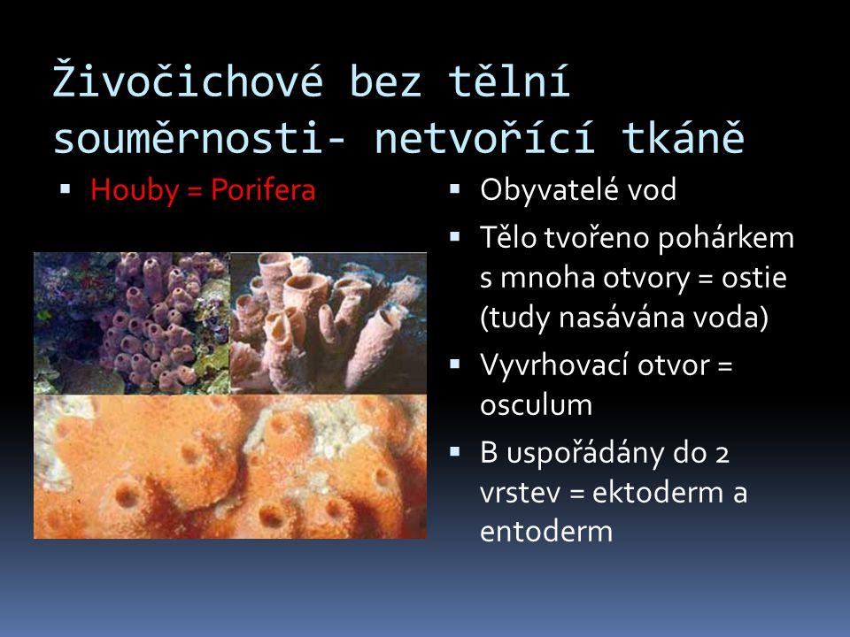 Živočichové bez tělní souměrnosti- netvořící tkáně  Houby = Porifera  Obyvatelé vod  Tělo tvořeno pohárkem s mnoha otvory = ostie (tudy nasávána vo