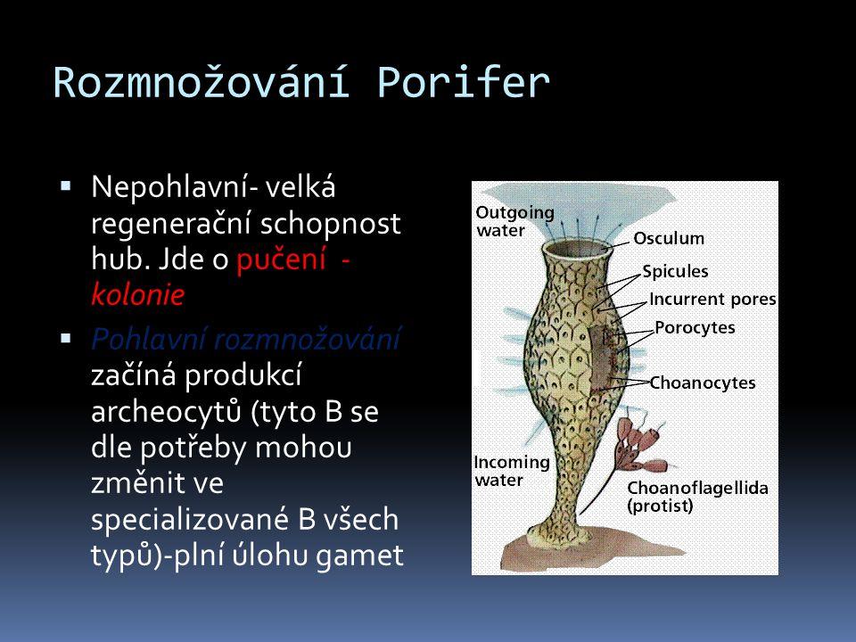 Rozmnožování Porifer  Nepohlavní- velká regenerační schopnost hub. Jde o pučení - kolonie  Pohlavní rozmnožování začíná produkcí archeocytů (tyto B