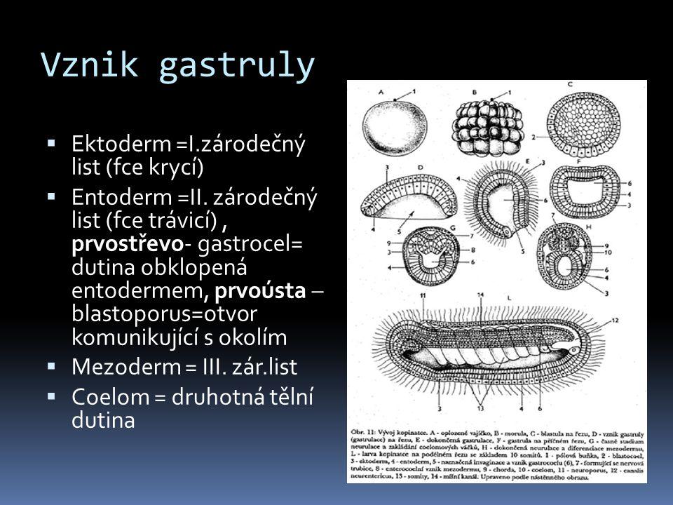 Vznik gastruly  Ektoderm =I.zárodečný list (fce krycí)  Entoderm =II. zárodečný list (fce trávicí), prvostřevo- gastrocel= dutina obklopená entoderm