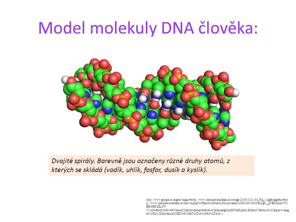 Model molekuly DNA člověka: Dvojité spirály. Barevně jsou označeny různé druhy atomů, z kterých se skládá (vodík, uhlík, fosfor, dusík a kyslík). http