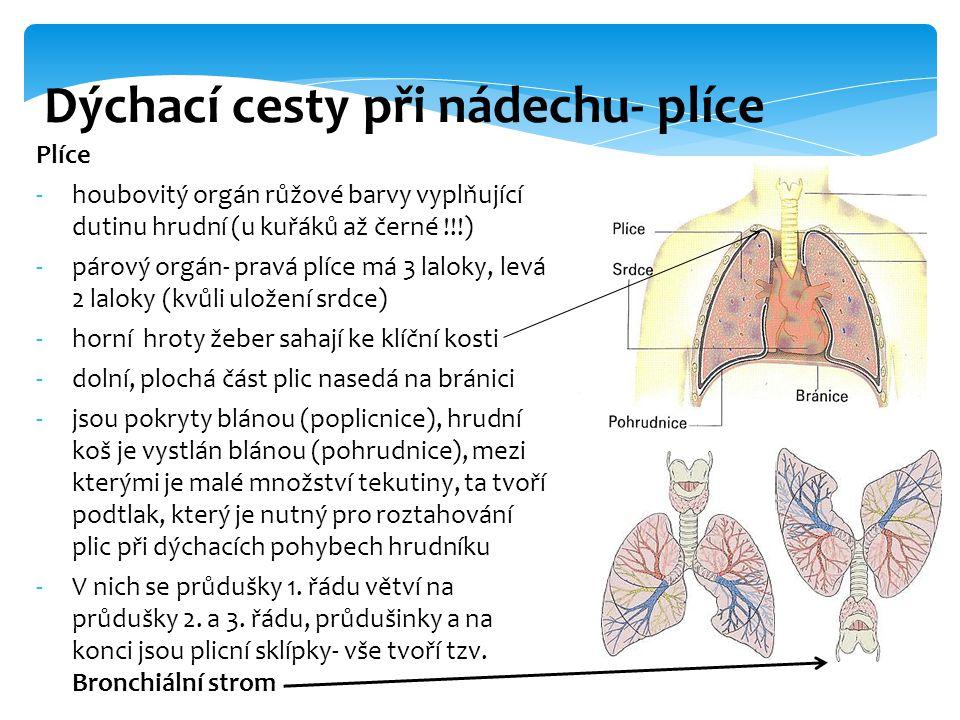 Plíce -houbovitý orgán růžové barvy vyplňující dutinu hrudní (u kuřáků až černé !!!) -párový orgán- pravá plíce má 3 laloky, levá 2 laloky (kvůli ulož