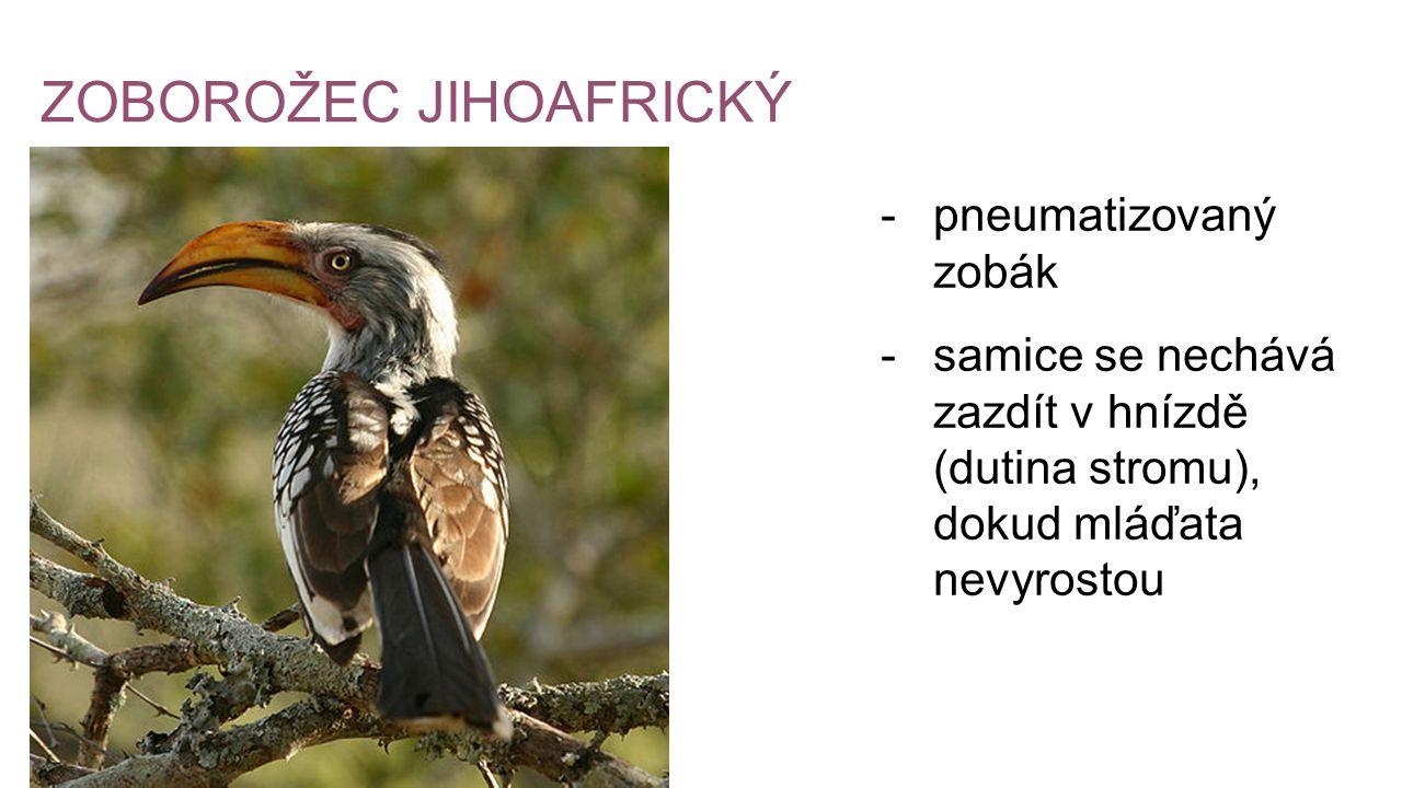 ZOBOROŽEC JIHOAFRICKÝ -pneumatizovaný zobák -samice se nechává zazdít v hnízdě (dutina stromu), dokud mláďata nevyrostou