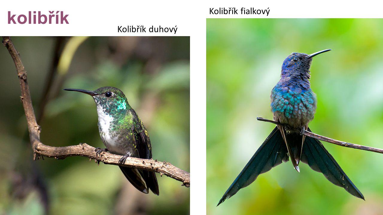 kolibřík Kolibřík duhový Kolibřík fialkový