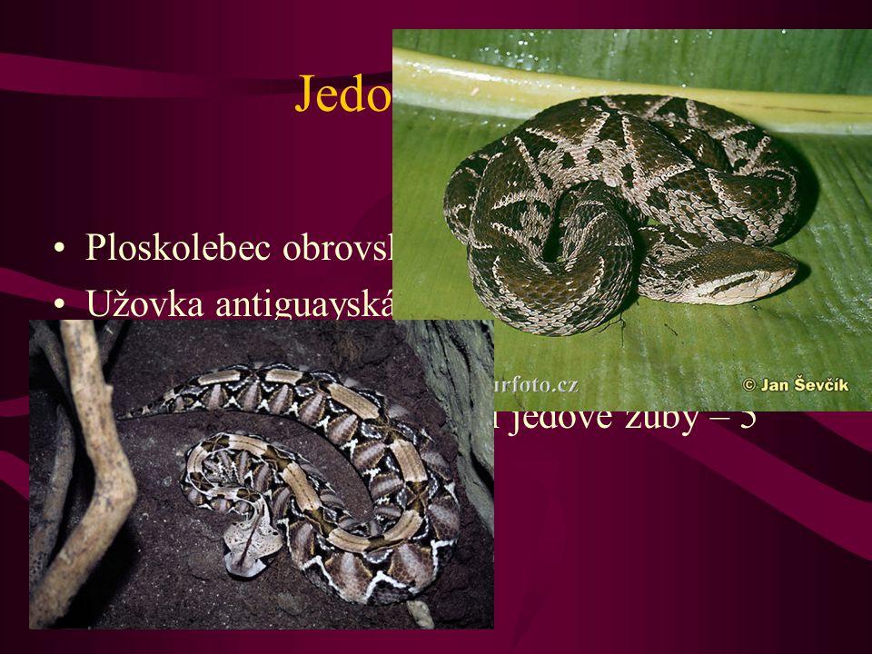 Jedovatí hadi Ploskolebec obrovský – ''stokrokový had'' Užovka antiguayská – nejvzácnější had Křovinář velkohlavý – vyskočí do výšky 1 m Zmije Gabunská – největší jedové zuby – 5 cm