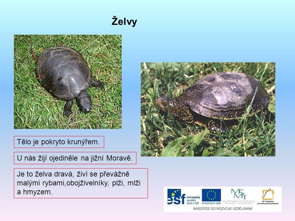 Želvy U nás žijí ojediněle na jižní Moravě. Tělo je pokryto krunýřem. Je to želva dravá, živí se převážně malými rybami,obojživelníky, plži, mlži a hm