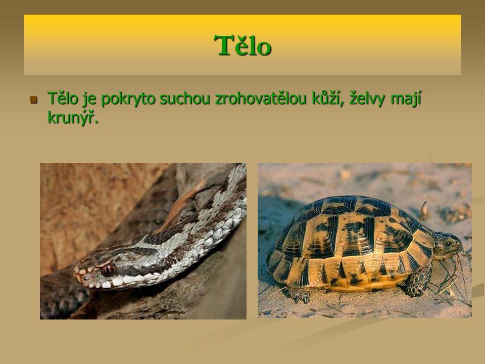 Pohyb Hadi nemají vyvinuté končetiny – plazí se.Hadi nemají vyvinuté končetiny – plazí se.