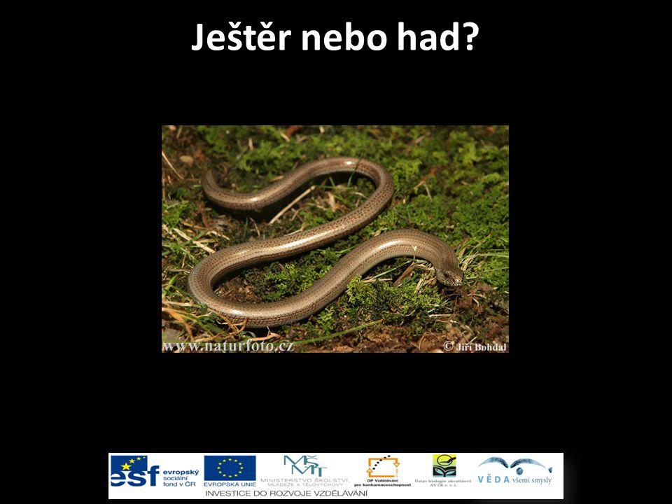 Ještěr nebo had?