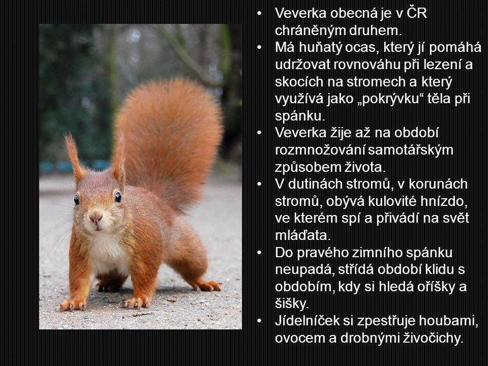 """Veverka obecná je v ČR chráněným druhem. Má huňatý ocas, který jí pomáhá udržovat rovnováhu při lezení a skocích na stromech a který využívá jako """"pok"""