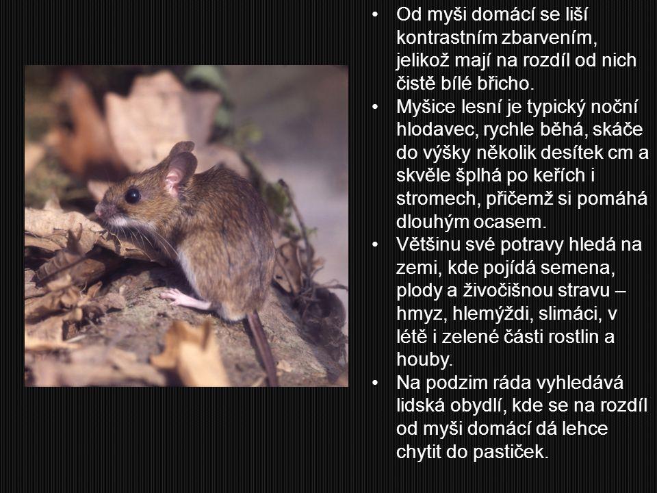 Od myši domácí se liší kontrastním zbarvením, jelikož mají na rozdíl od nich čistě bílé břicho. Myšice lesní je typický noční hlodavec, rychle běhá, s
