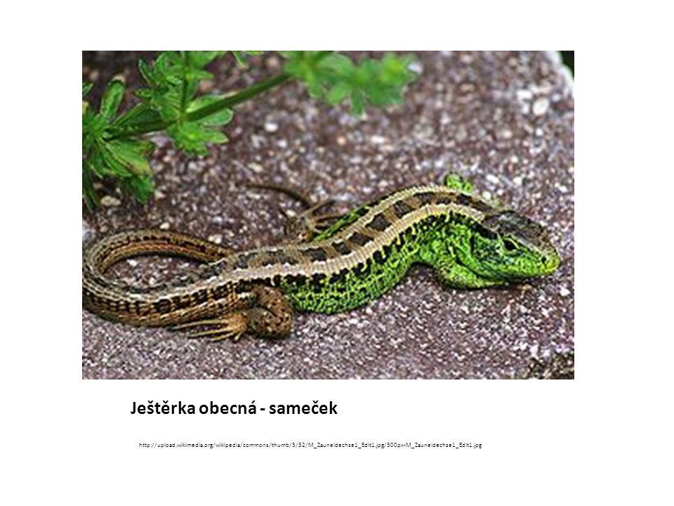 Ještěrka obecná - samička http://upload.wikimedia.org/wikipedia/commons/thumb/5/5e/Jaszczurka.jpg/220px-Jaszczurka.jpg