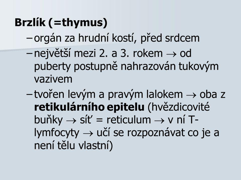 Brzlík (=thymus) – –orgán za hrudní kostí, před srdcem – –největší mezi 2. a 3. rokem  od puberty postupně nahrazován tukovým vazivem – –tvořen levým