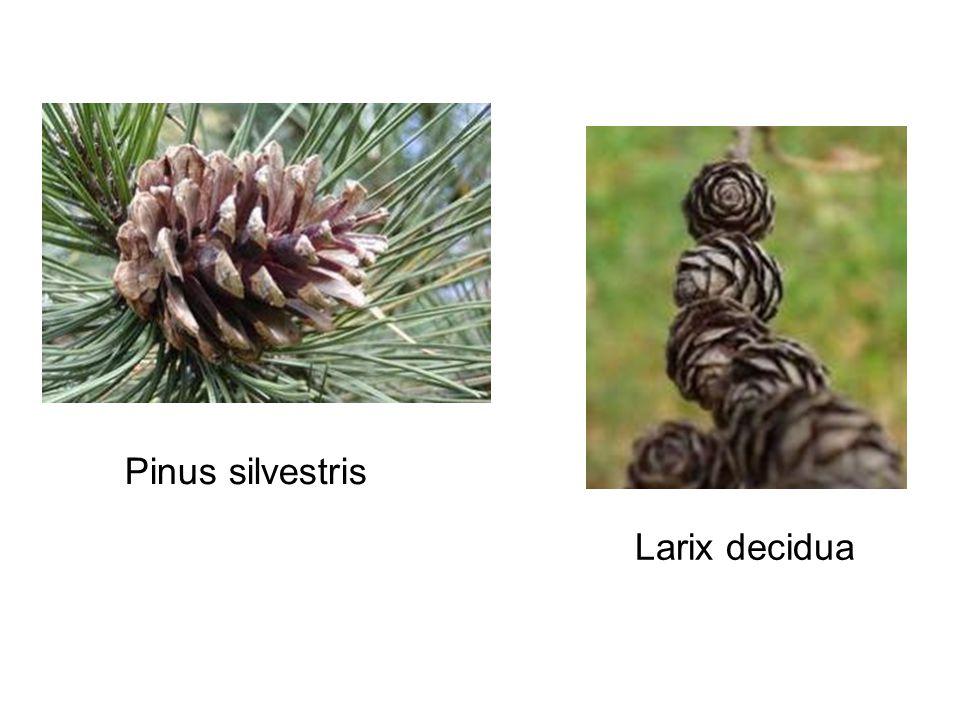 Larix decidua Pinus silvestris