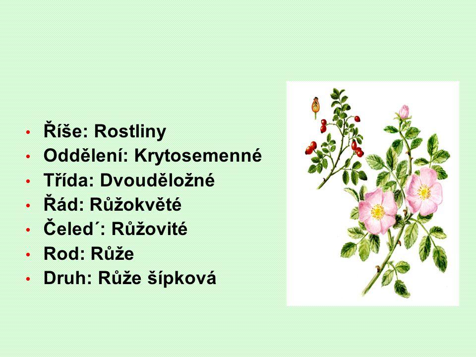 Říše: Rostliny Oddělení: Krytosemenné Třída: Dvouděložné Řád: Růžokvěté Čeled´: Růžovité Rod: Růže Druh: Růže šípková