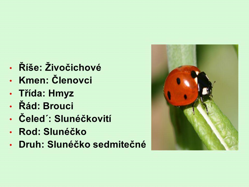 Říše: Živočichové Kmen: Členovci Třída: Hmyz Řád: Brouci Čeled´: Slunéčkovití Rod: Slunéčko Druh: Slunéčko sedmitečné