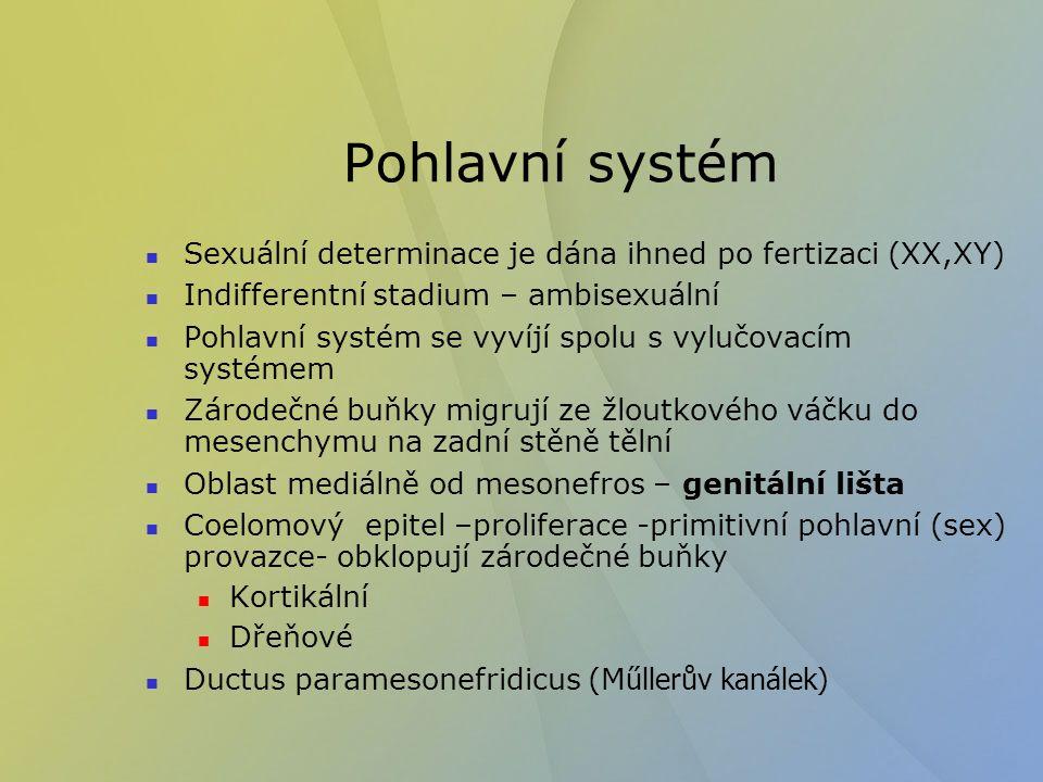 Gen SRY (testis determining factor) zahajuje vývojovou kaskádu – kontroluje buňky pohlavních provazců Dřeňové primitivní pohlavní provazce se vyvíjejí na rete testis a tubuli seminiferri concorti Sertoliho buňky – produkce anti- M ű llerianského hormonu (AMH) Kortikální pohlavní provazce degenerují Mesenchymové buňky se diferencují na Leydigovy buňky – testosteron- diferenciace pohlavního systému a mozku Kontakt mezi pre-Sertoliho buňkami a zárodečnými buňkami zastaví proliferaci a diferenciaci zárodečných buněk do puberty