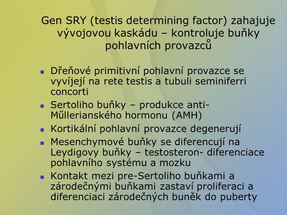 Gen SRY (testis determining factor) zahajuje vývojovou kaskádu – kontroluje buňky pohlavních provazců Dřeňové primitivní pohlavní provazce se vyvíjejí