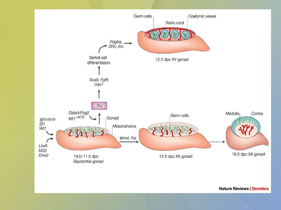 Ovarium Oogonia – primordiální zárodečná buňka – ve stěně žloutkového váčku – migrace do základu gonád – mitotické dělení pod vlivem medulárního rete ovarii (z mesonefros)– do 5.