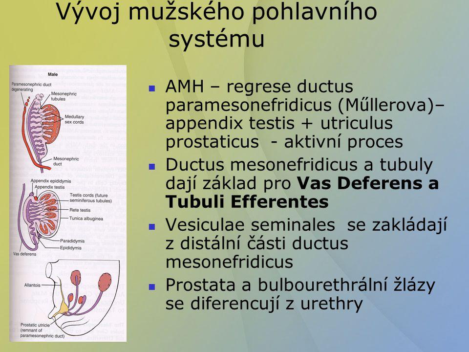Vývoj mužského pohlavního systému AMH – regrese ductus paramesonefridicus (M ű llerova)– appendix testis + utriculus prostaticus - aktivní proces Duct