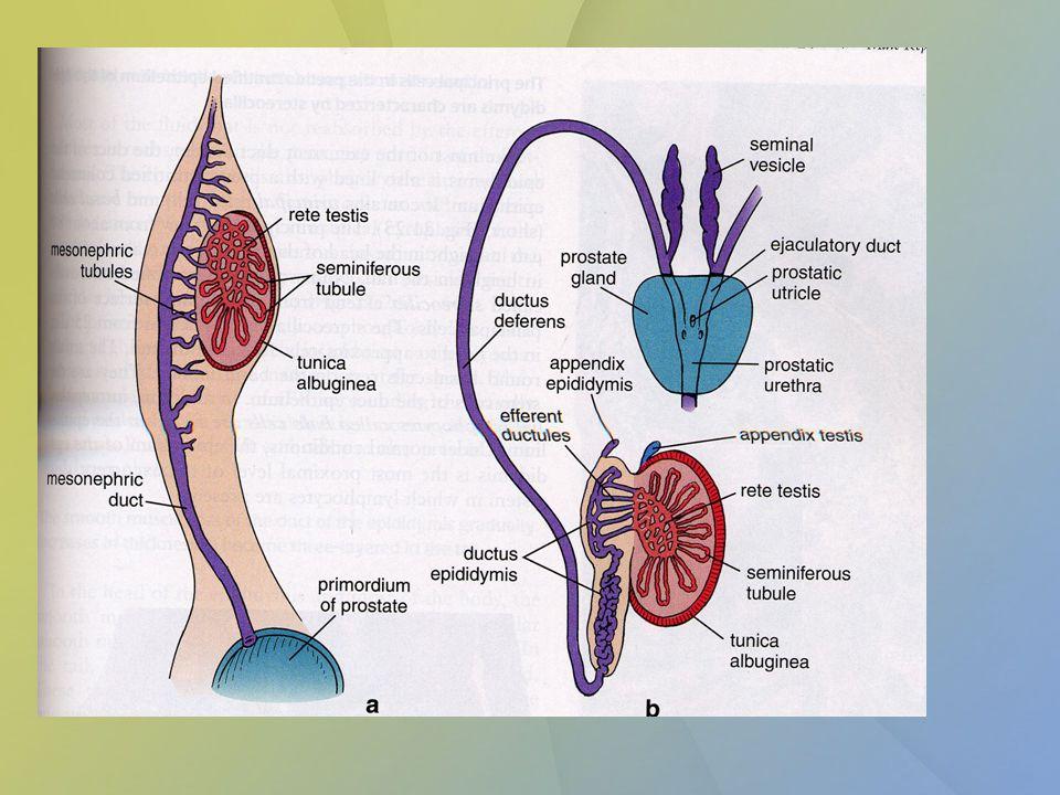 Vývody pohlavního systému - žena M üllerův kanálek se vyvine na vejcovody (kraniální část) a dělohu - uterus (distální část) Vagina – horní část – splynulé Müllerovy kanálky + dolní část – uterovaginální ploténka Sinus urogenitalis – vestibulum vaginae