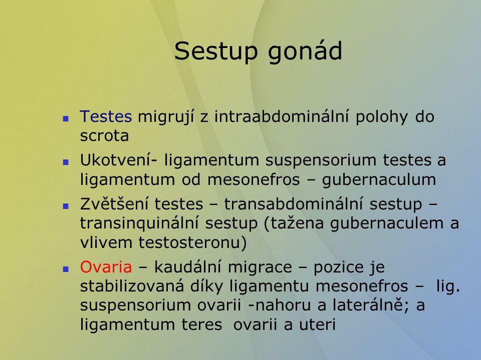 Sestup gonád Testes migrují z intraabdominální polohy do scrota Ukotvení- ligamentum suspensorium testes a ligamentum od mesonefros – gubernaculum Zvě