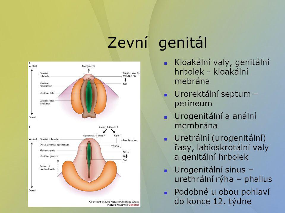 Zevní genitál - muž Labioskrotální valy splynou - scrotum – skrotální raphe Urethrální řasy splynou- penilní raphe - penilní urethra – končí slepě Malformace : Hypospadia (0,5% živě narozených) Epispadie (spojena s extrofií močového měchýře Hermaphoritismus Cryptorchismus nebo nesestouplá varlata