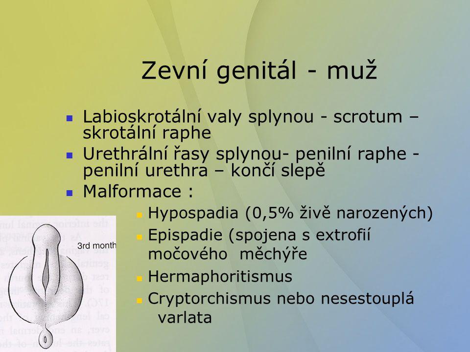 Zevní genitál - muž Labioskrotální valy splynou - scrotum – skrotální raphe Urethrální řasy splynou- penilní raphe - penilní urethra – končí slepě Mal